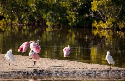 roseate spoonbills and snowy egrets - Florida Birds Tour