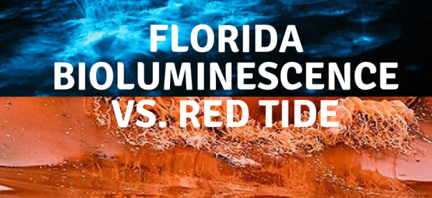 florida bioluminescence is not red tide